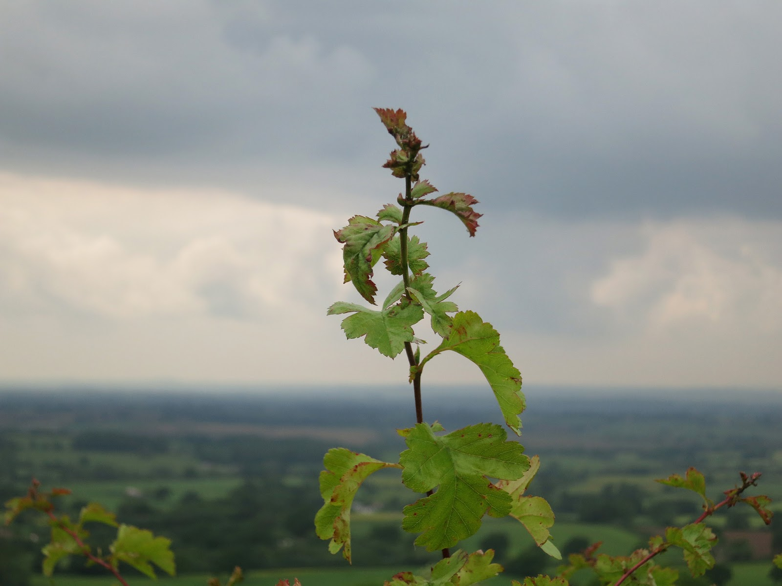 Hathorn twig high on hill above Dorset countryside with sky indicating rain is nigh