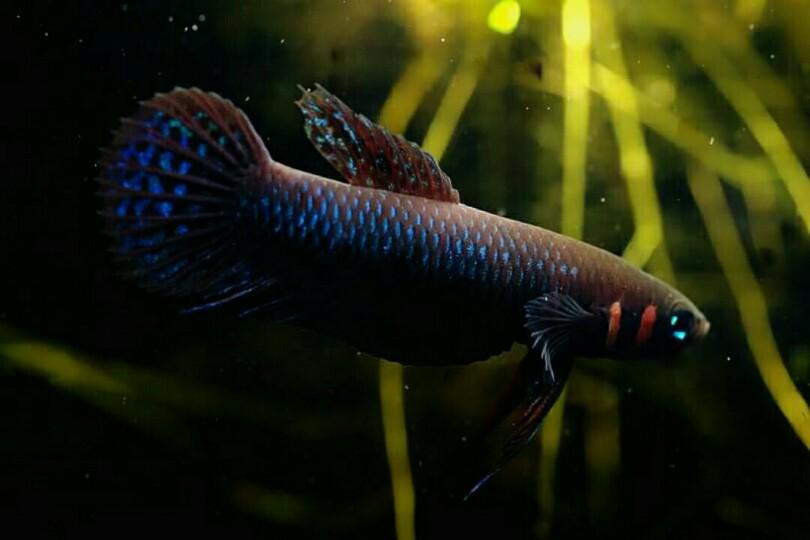 Ikan Cupang Emas