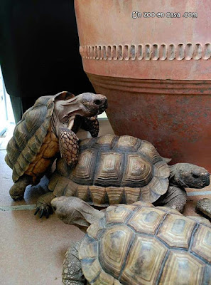 Tortugas argentinas copulando