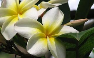 Gambar Bunga Melati Cantik 2