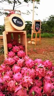 Wisata Wakaf Kebun Buah Naga di Cijambe Subang