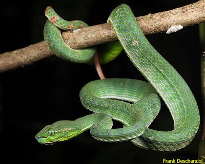 ciri ular hijau yang berbisa, ular hijau daun, ular hijau di indonesia, ular hijau di depan rumah, ular hijau dalam togel, ular hijau dengan ekor merah, ular hijau di rumah, ular hijau di pohon mangga, ular hijau di malam hari, ular hijau di jalan, ular hijau ekor hitam, ular hijau ekor silver