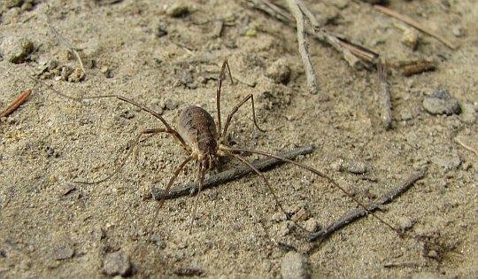 Ośmionogi wędrowiec na szlaku: Kosarz (Opiliones) - ...i wcale nie jest to pająk.