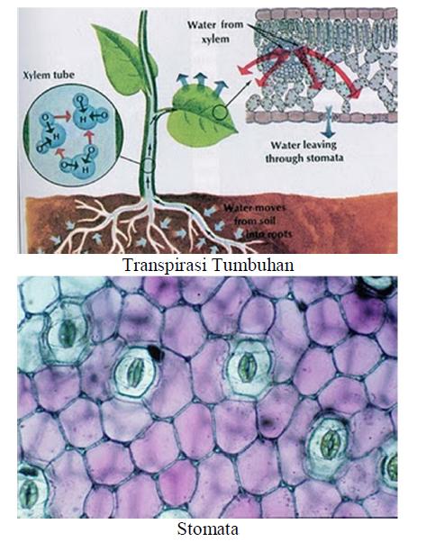 Transpirasi dan Gutasi Pada Tumbuhan