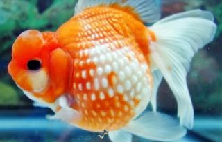 Budidaya Ikan Mas KOI