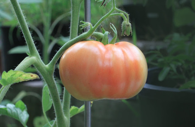 How To Grow Tomato In Pots