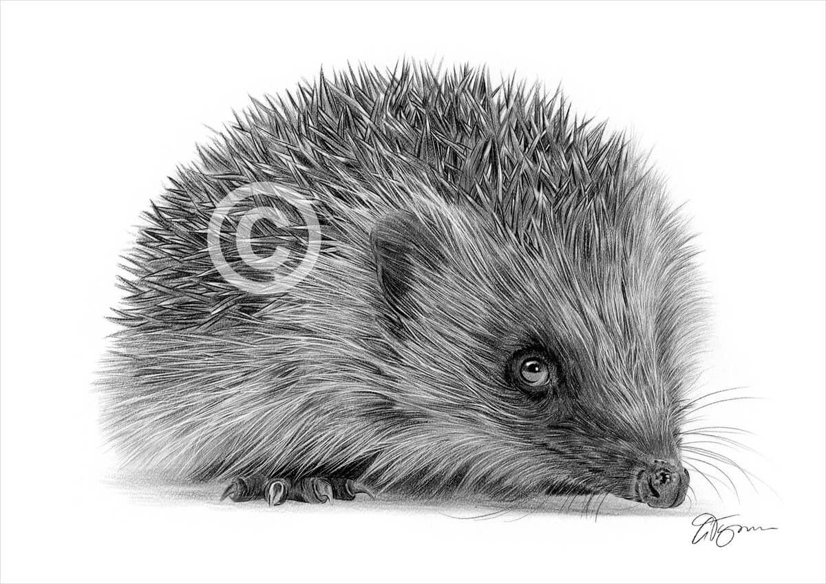 09-Hedgehog-Gary-Tymon-Wildlife-and-Domestic-Animal-Pencil-Drawings-www-designstack-co