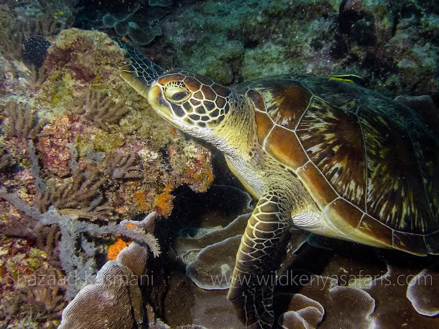 Green Turtle, Green Turtle Kenya, Foliose Coral, Underwater Photography Kenya, Wild Kenya Safaris, Shazaad Kasmani, Wildlife Diaries, Scuba Diving Kenya, Kenya Marine Life, underwater filmmaker kenya