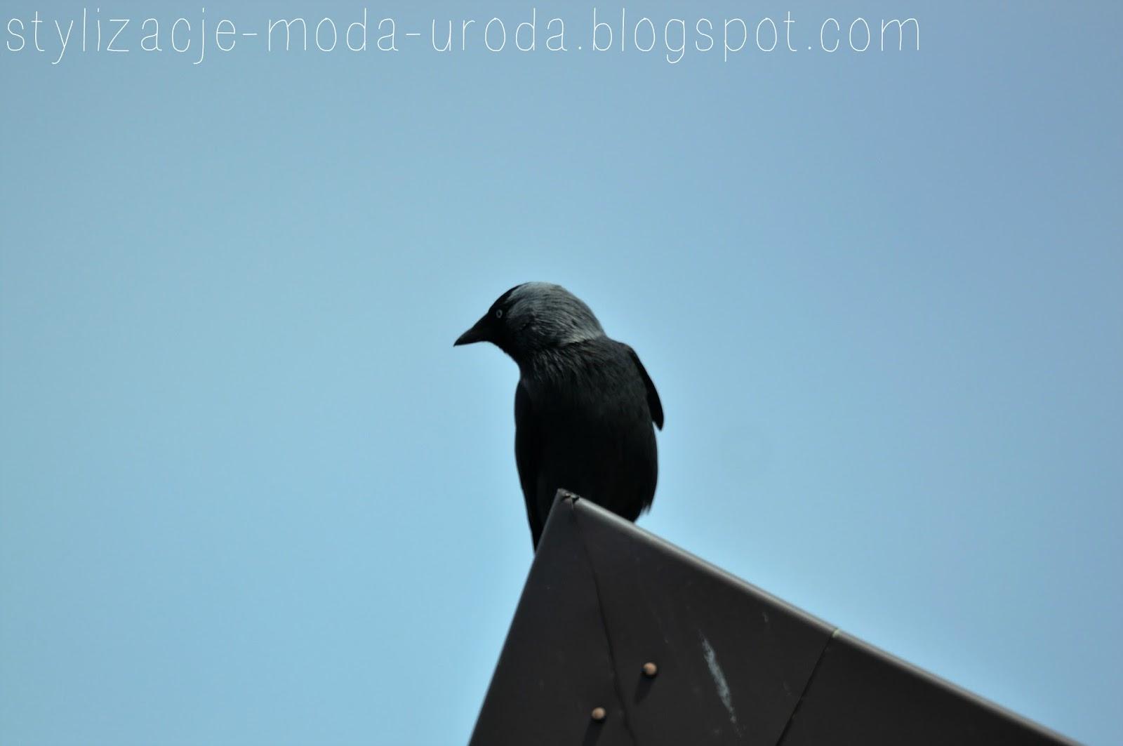 wrona na dachu
