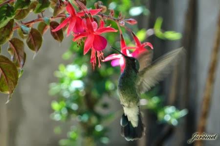 Como atrair beija-flores para o jardim