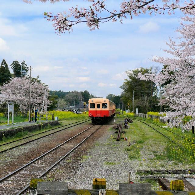 小湊鐵道 里見駅 桜 菜の花