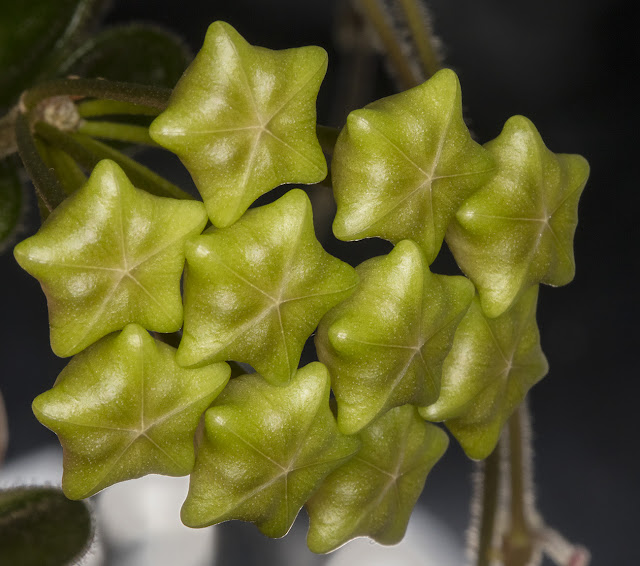 Flower cluster of Hoya serpens, in bud.