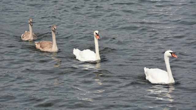 Bracciano swans
