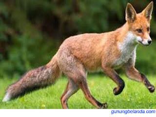 Apakah Kanguru Menggunakan Ekor Untuk Keseimbangan
