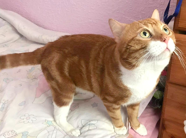 Marmalade the cat on bed