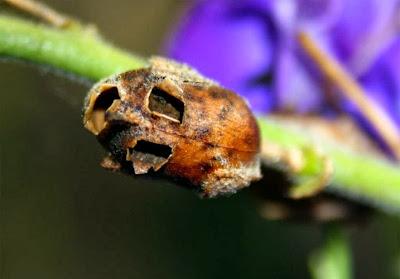 bunga kaya flavanoid Snapdragon, Bunga Ini Akan Berubah Menyerupai Tengkorak Manusia Saat Layu