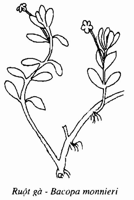 Hình vẽ cây RUỘT GÀ - Bacopa monnieri - Nguyên liệu làm thuốc Chữa Ho Hen