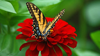 Butterfly_red_flower_uhd
