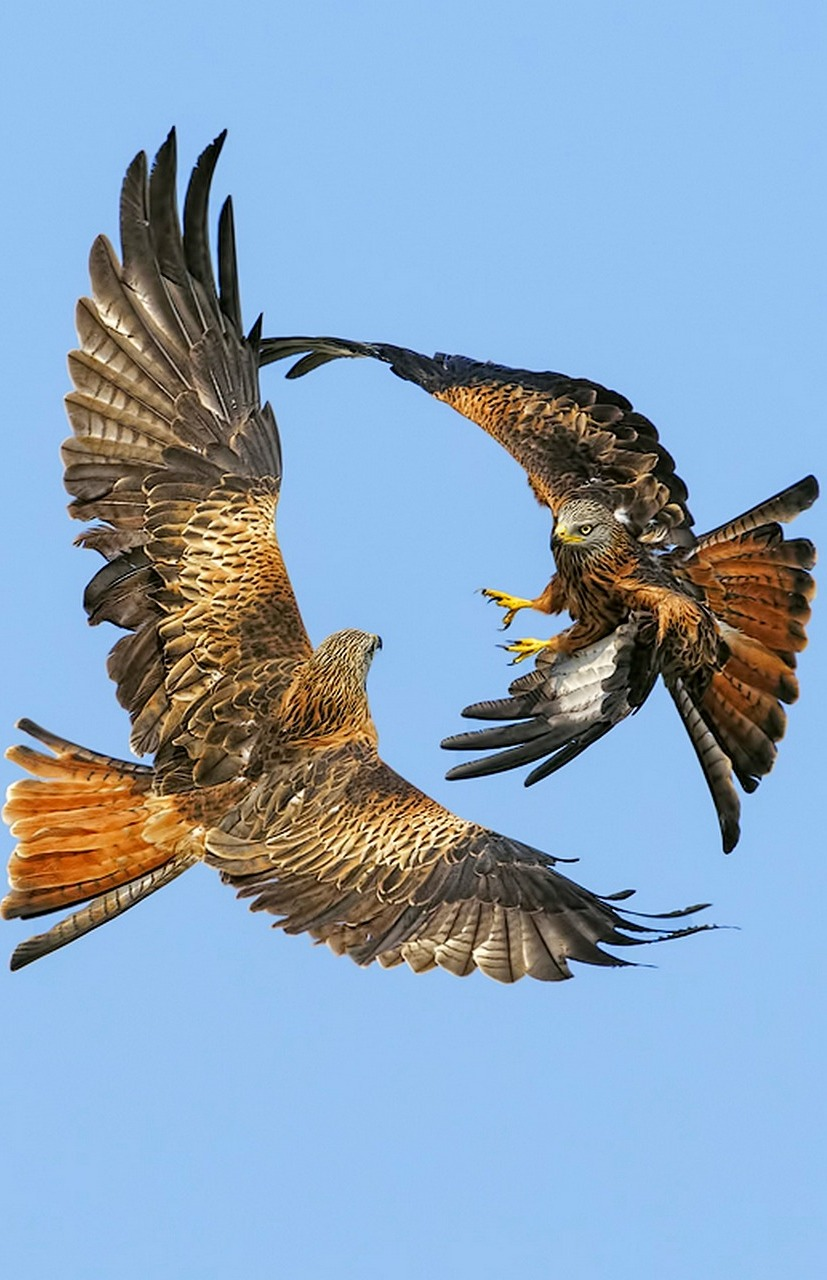 Amazing photo of hawks fighting.