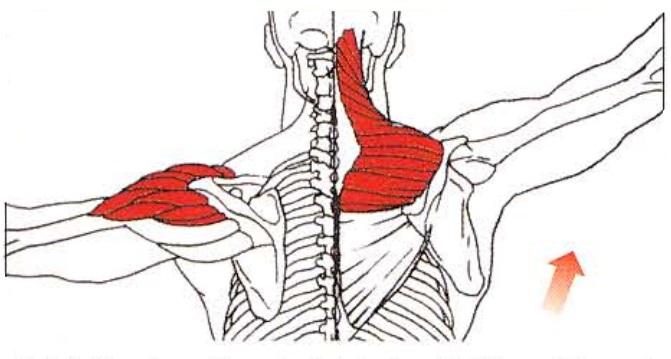 Función del deltoides y el trapecio
