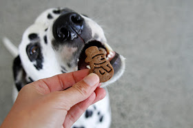 Dalmatian dog eating a snowman shaped dog treat