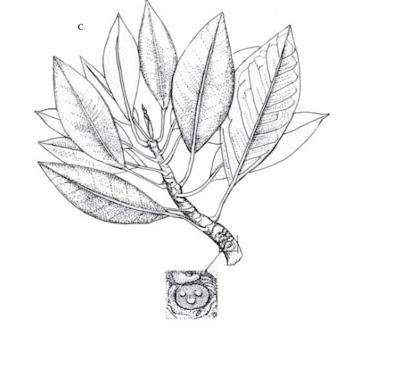 Mengenal Mangrove : Bruguiera exaristata Ding Hou