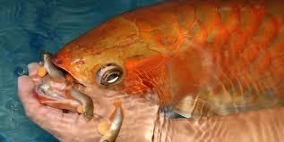 Cara Perkawinan Ikan Arwana Bagi Pemula Untung Miliaran Rupiah