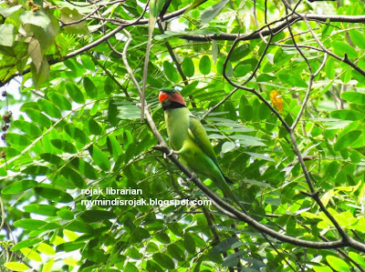 Long-tailed Parakeet in Bidadari, May 2015