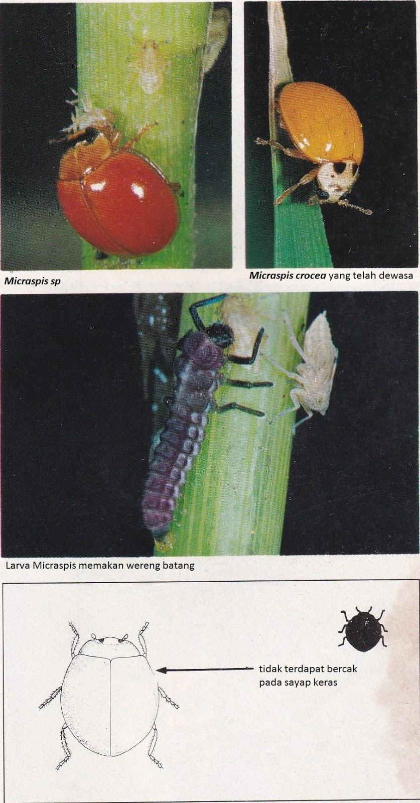 Berbagai Jenis Serangga Sebagai Musuh Alami Hama Tanaman Padi Pemuda Tani