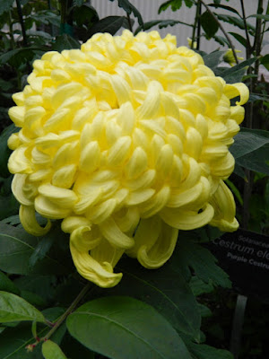 Soft yellow incurve chrysanthemum at 2016 Allan Gardens Conservatory  Fall Chrysanthemum Show by garden muses-not another Toronto gardening blog