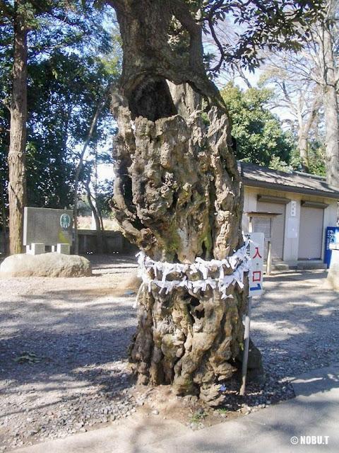 一言主神社(茨城県常総市)の参道の木