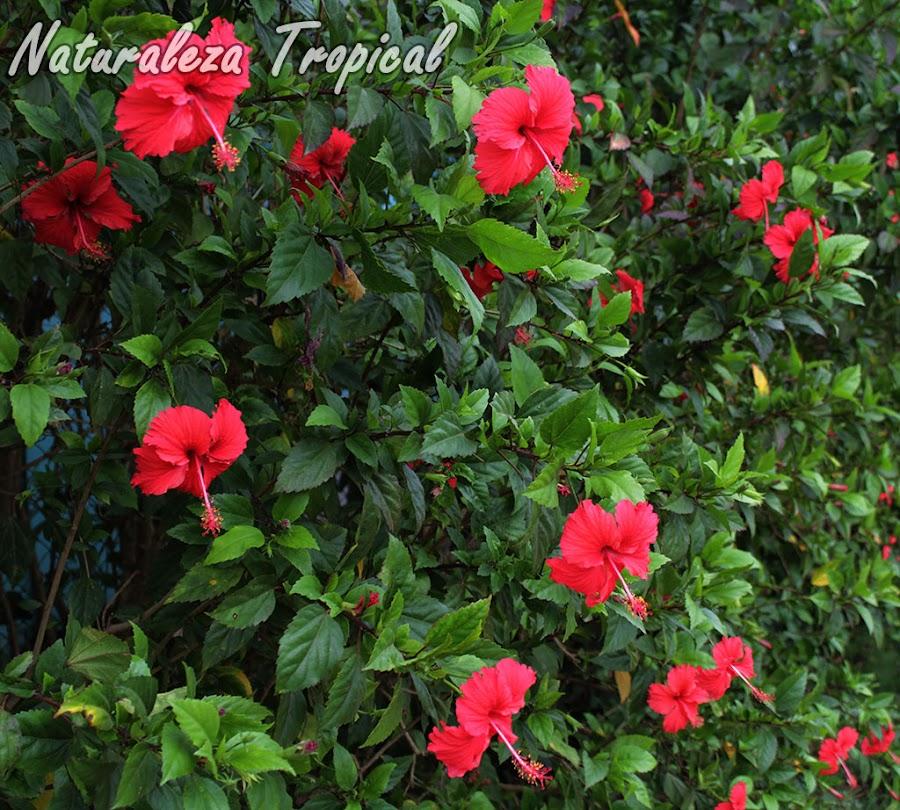 Arbusto florido de la Rosa de China, Hibiscus rosa-sinensis