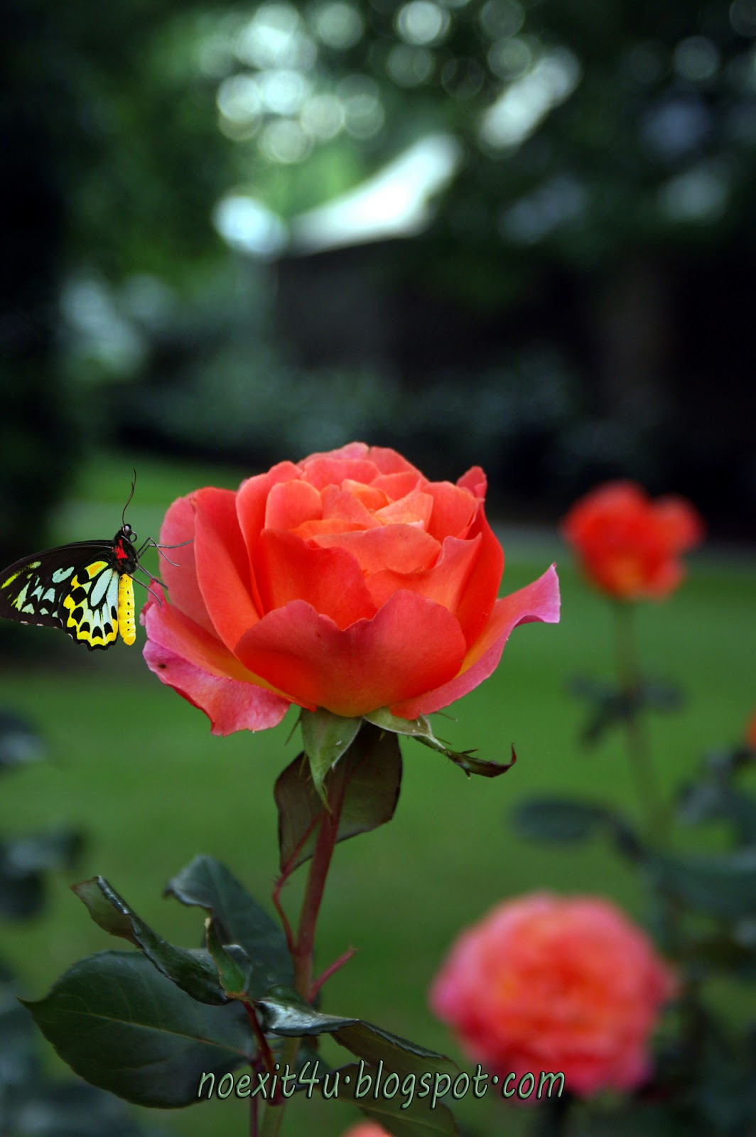 Wallpaper Good Night Quotes Hd Rose And Butterfly Wallpaper Noexit4u Com