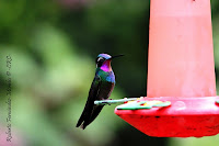 Colibrí montañes gorgimorado, Purple throated Mountain gem, Lampornis calolaemus