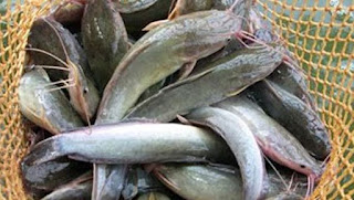 cara sukses bisnis ikan lele