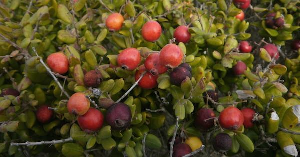 Detalle de bayas rojas y moradas de Lucumillo
