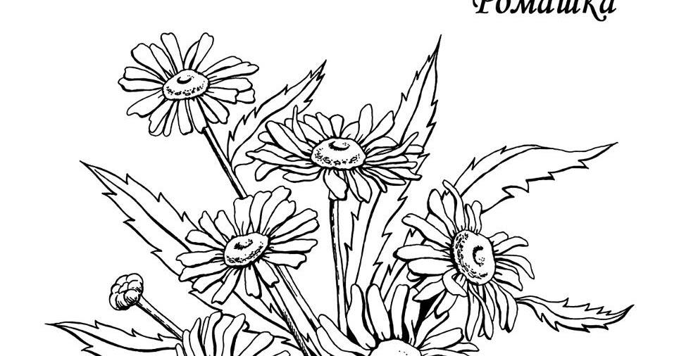 Раскраски деткам: Раскраска цветы - Ромашка