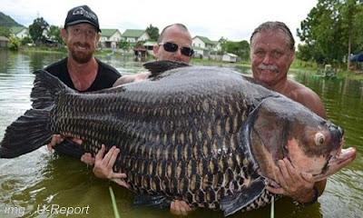 Menelusuri Asal usul Ikan Mas (konsumsi) Macam jenis dan keterkaitannya dengan Koi