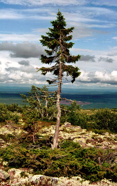 Oldest Tree in the World Old Tjikko 9,500 years old