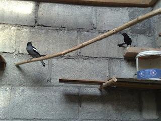 Burung Kacer - Proses Perjodohan Burung Kacer -  Tips Agar Burung Kacer Cepat Jodoh