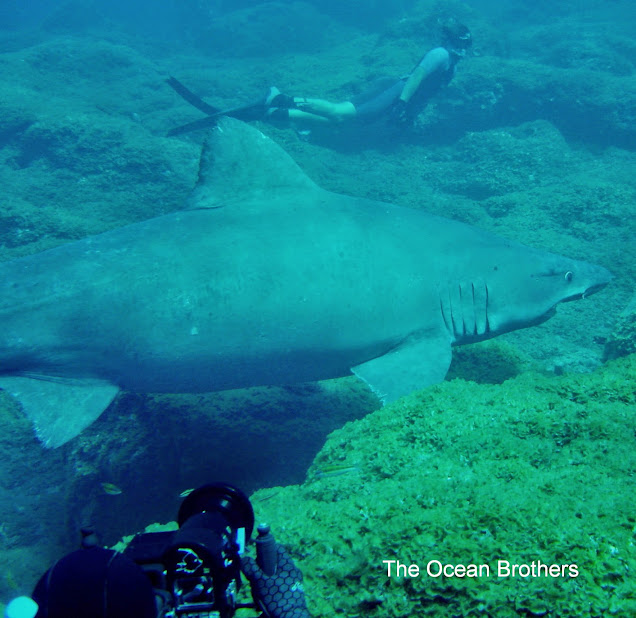 Kleinzahn-Sandtigerhai – Odontaspis ferox 03