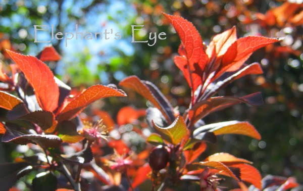 Prunus nigra September 2013