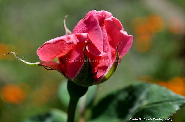 Pink, Rose, Bud, Pic, HD