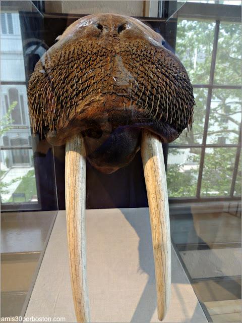Morsa en el New Bedford Whaling Museum