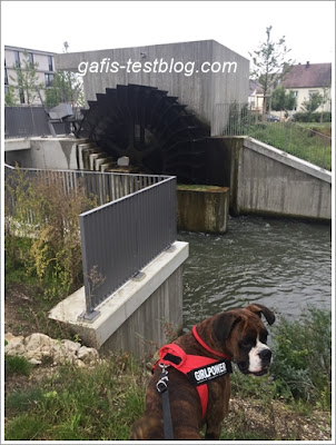 Boxer Amy am Wasserrad