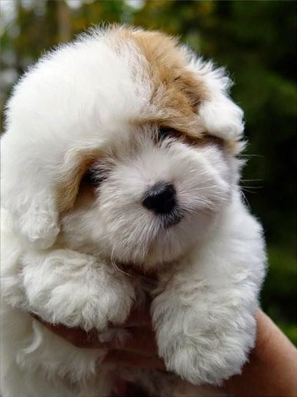 Cute Coton de Tulear puppy