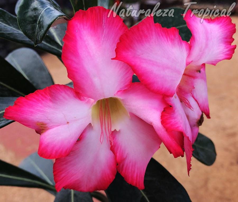 El calor extremo de los trópicos influye en el cultivo de la Rosa del Desierto, Adenium obesum