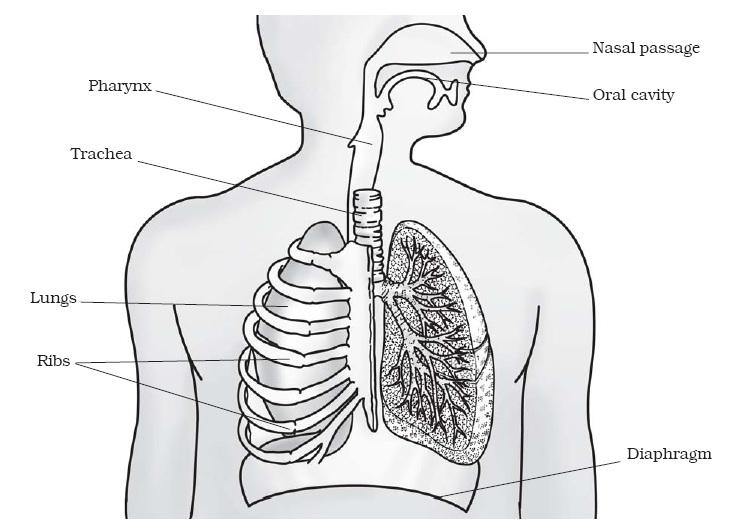Human Ventilation System : Respiration in organisms