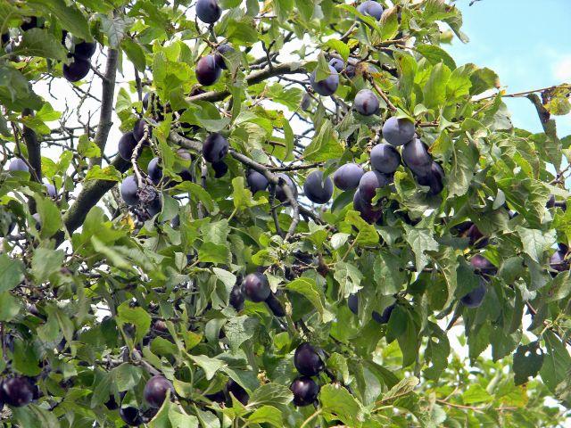 drzewa owocowe, śliwa, śliwki