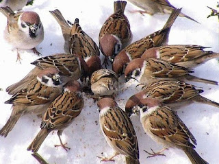 Sparrows are vanishing. Feed and protect them.